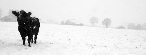 Koe Sneeuw
