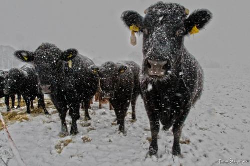 Koe Sneeuw2
