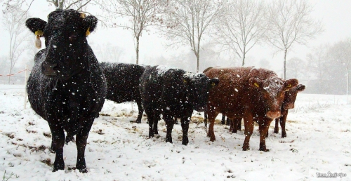Koeien Sneeuw3